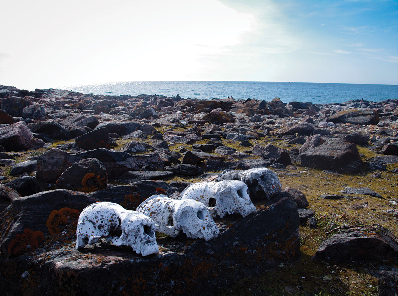 above These walrus skulls were lined up on the beach at Uglit at an unknown point in the past.