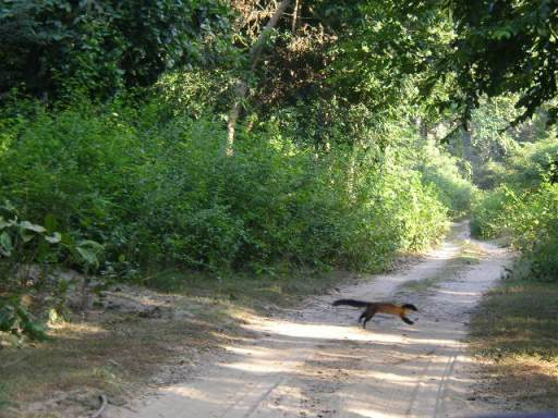 Yellow throated marten, Jim Corbett, Wildlife, jeep safari