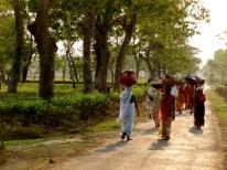 tea plantation in Assam, Assam tea estates