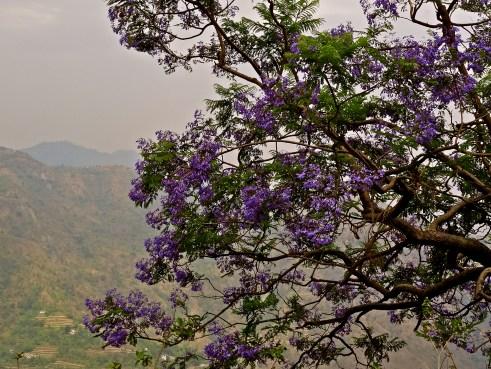 Uttarakhand trees, Uttarakhand flowers, Himalayas flowers