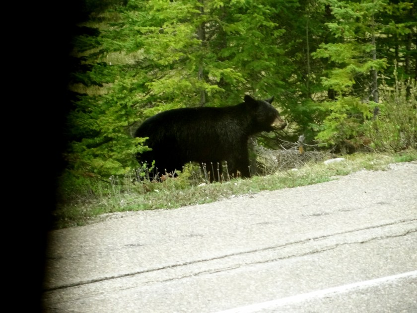Black bear photos, pictures of black bears, Jasper wildlife