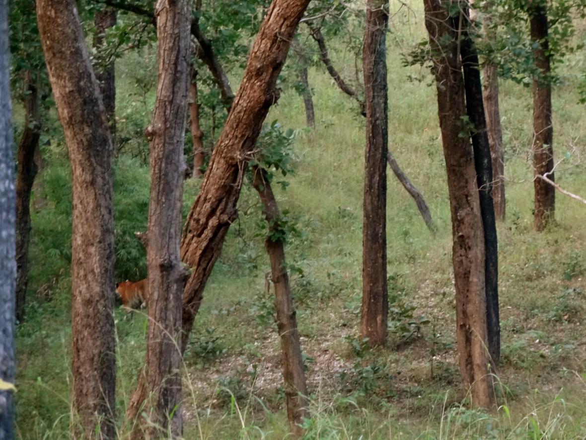 Kanha tigers, Kanha tiger reserve