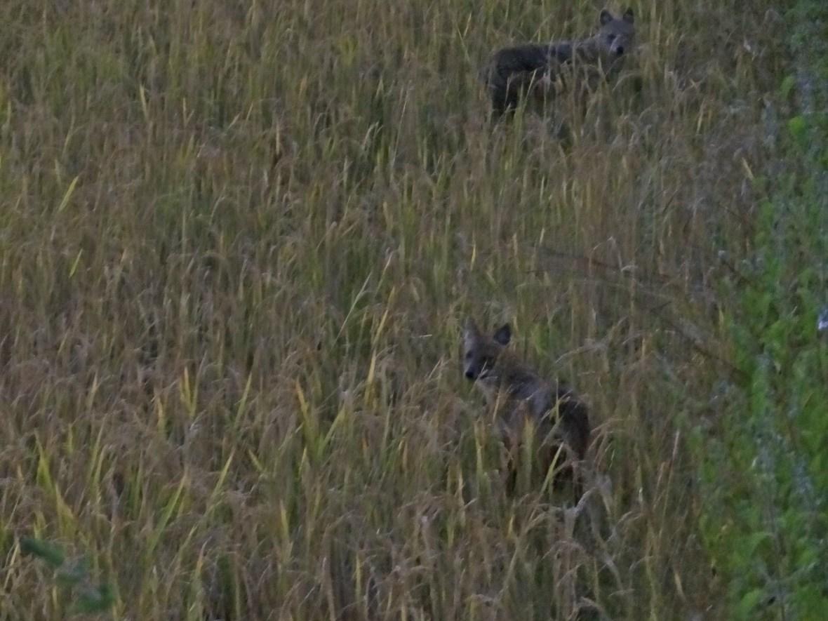 jackals, Kanha wildlife, Kanha national park, Kanha