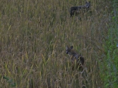 jackals, Kanha wildlife, Kanha national park, Kanha