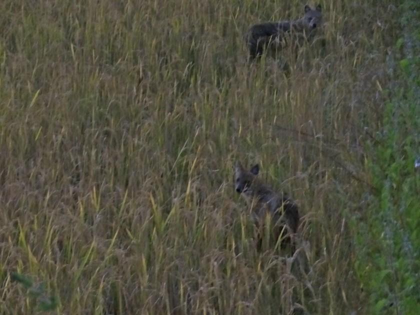 jackals, Kanha wildlife, Kanha national park, Kanha tiger reserve