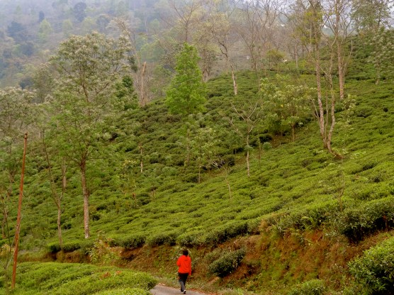 Darjeeling tea estates, Darjeeling photos