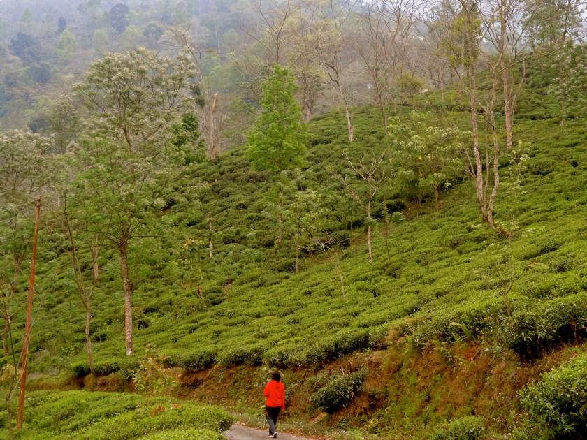 Darjeeling tea estates, Darjeeling photos, darjeeling to sikkim