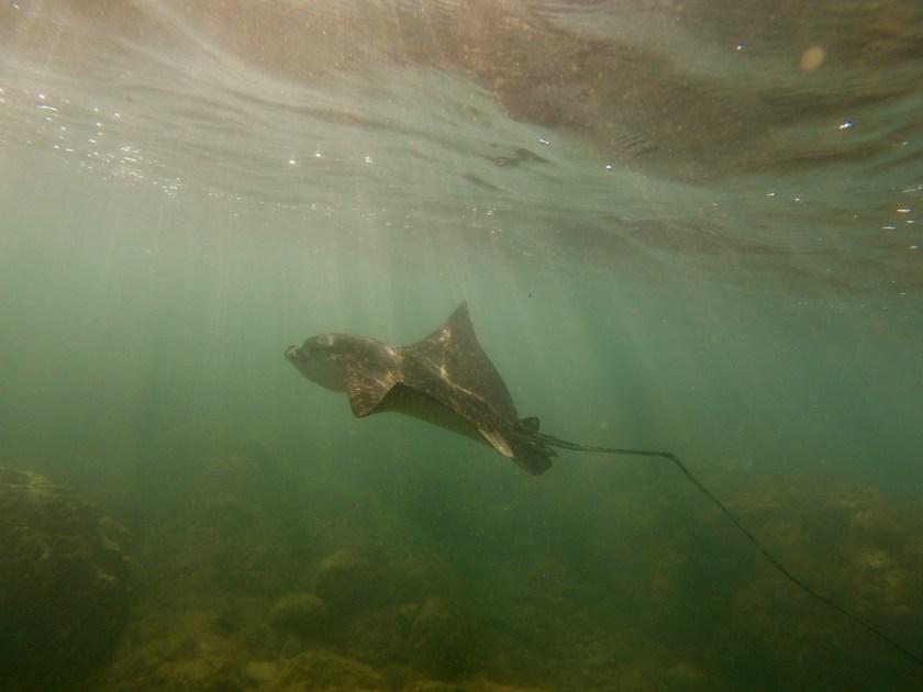 Sting rays costa rica, snorkeling costa rica