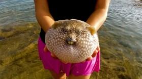 puffer fish costa rica, costa rica cabuya