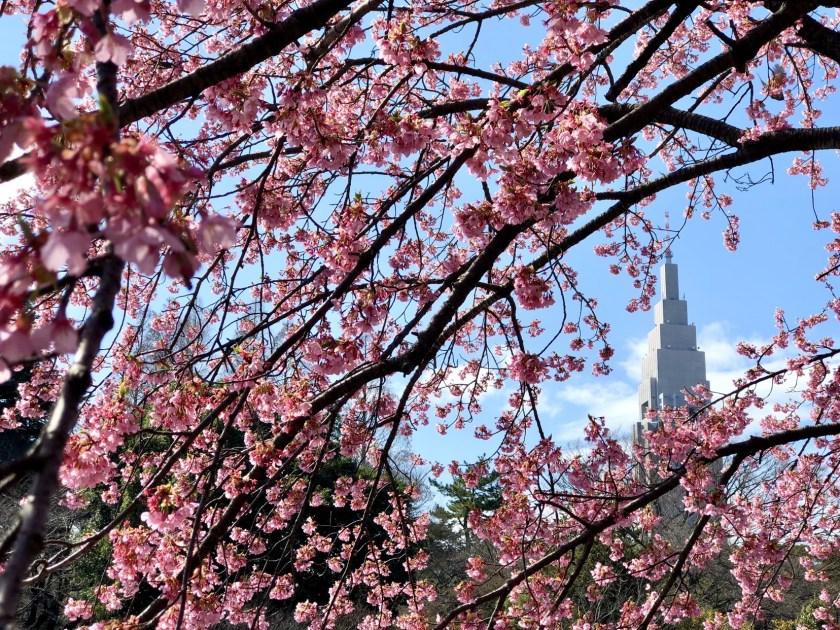 Cherry blossom japan, sakura japan
