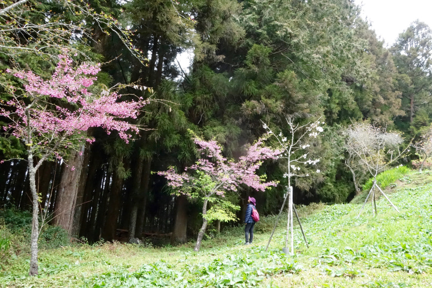 taiwan cherry blossom, shivya nath taiwan