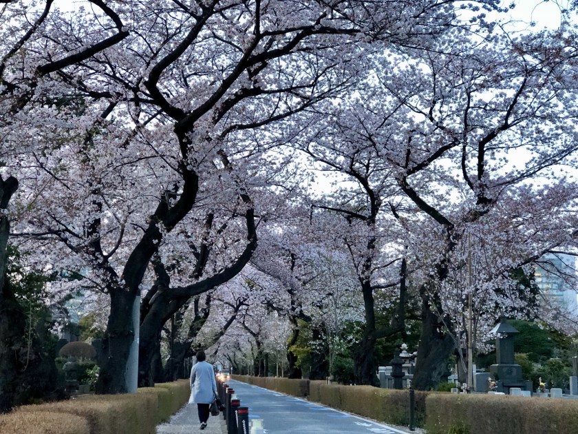 cherry blossom Japan, sakura japan, cherry blossom 2018