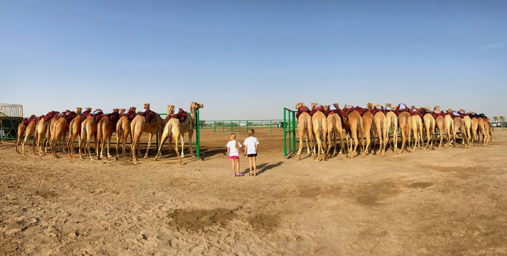 Camels Bums in Camel Beauty Competition Oman