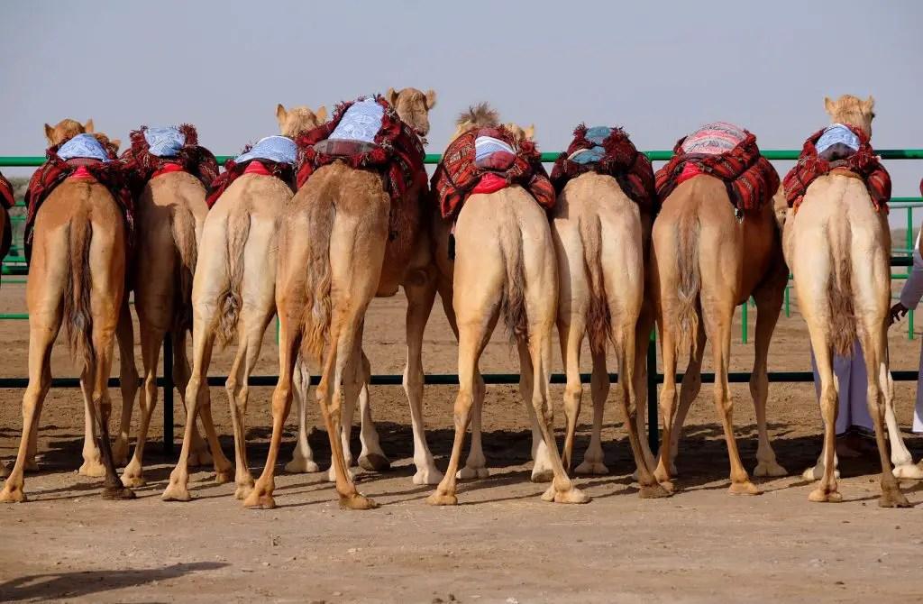 camel contest abu dhabi camel