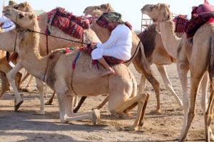 dubai camel and handler, камел