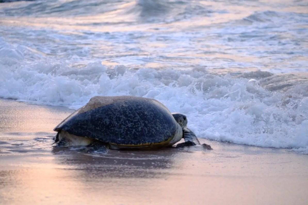 oman, żółwie w Omanie