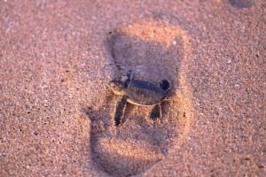 sea turtle habitat, baby turtle oman