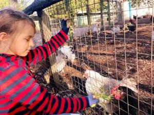 mudchute farm, farm in London, the travelling twins farma w Londynie, kury