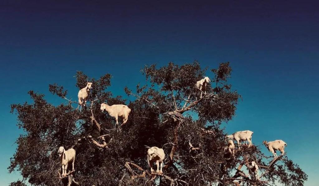 thinga to see in essaouira - goats on argan tree, goats on a tree morocco