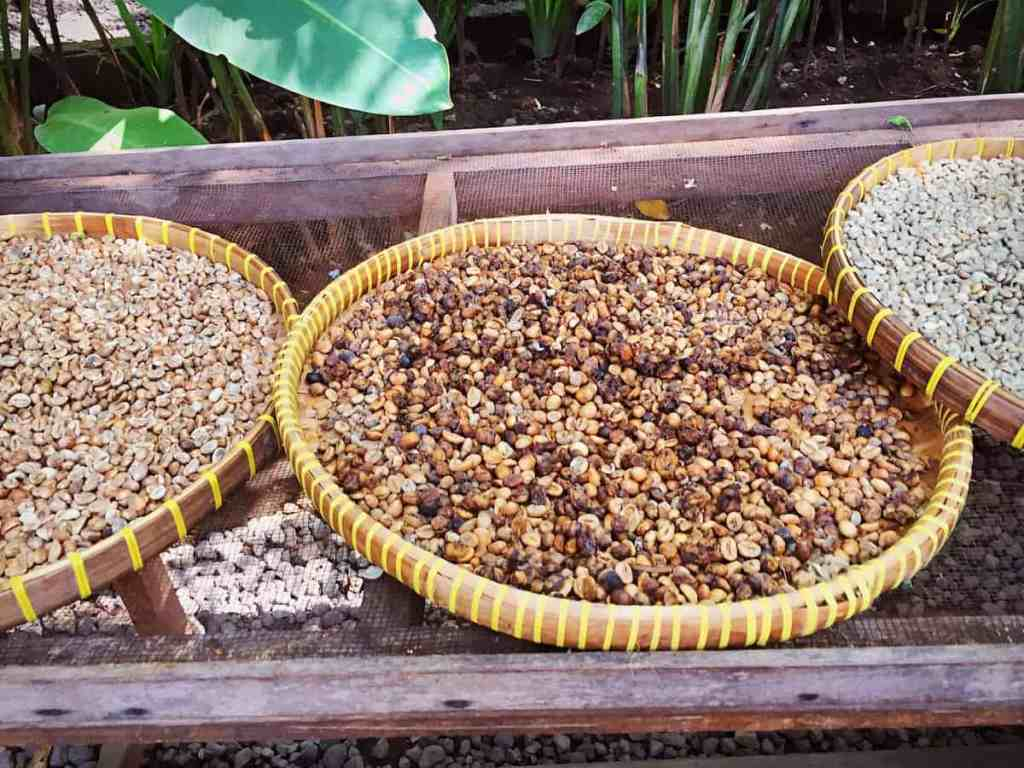 Weirdest foods - coffee luwak - raw coffee seed eat by Palm Civet and poo out