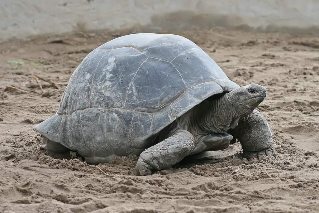 turtle on a prison island, zanzibar Tanzania