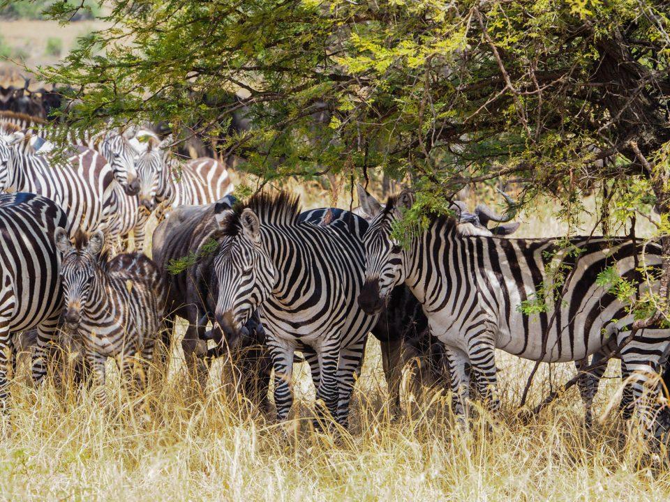 Tansania-Serengeti-Safari-zebras