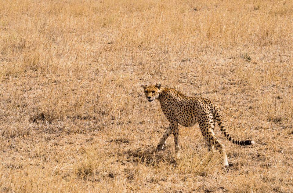 Tansania-Serengeti-Safari-gepard