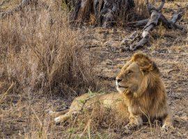 Tansania-Serengeti-Safari-Löwe