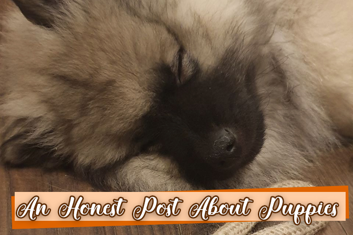 A picture of a Keeshond Puppy asleep