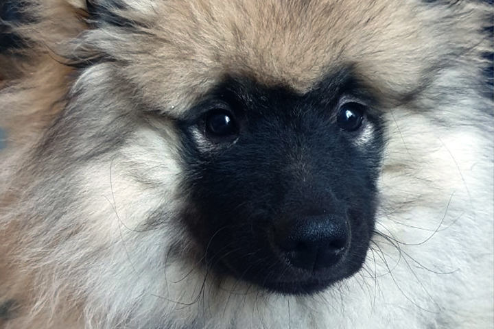 A close up picture of a Keeshond Puppy's face, he is very fluffy.