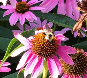 echinacea, purple coneflower with bumblebee
