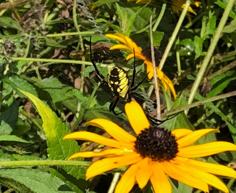 yellow and black orb weaver spider