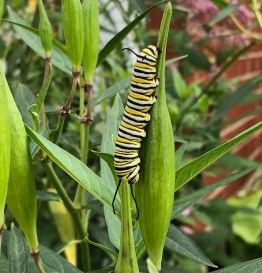 monarch caterpillar on milkweed pod