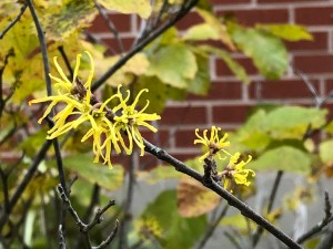 yellow broom-like witch hazel blossoms