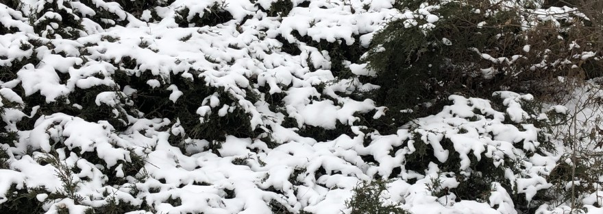 snow on juniper
