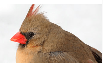 brown female cardinal with red beak and red crest on white background