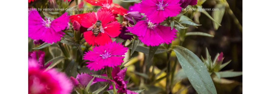 yellow and black striped bee on red flower, in bunch of pink and red flowers