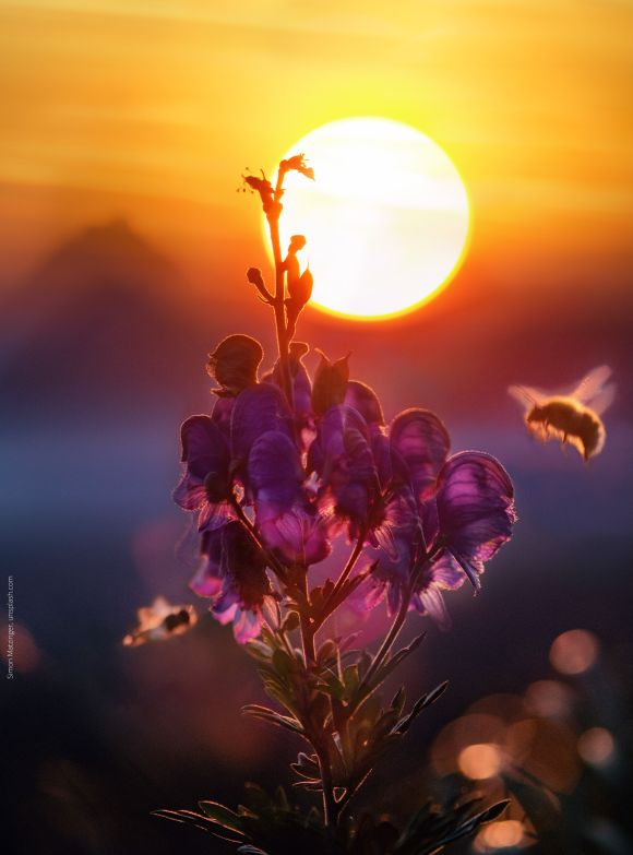 Orange sunset in background creates a silhouette of a flower, a blurry bee flies toward the flower