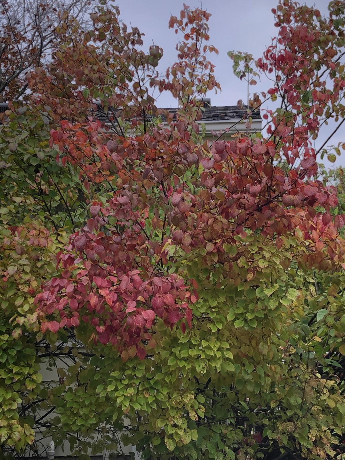 serviceberry, full foliage, as it turns from green to brilliant scarlet, still green along the bottom, leaves turning from the top down