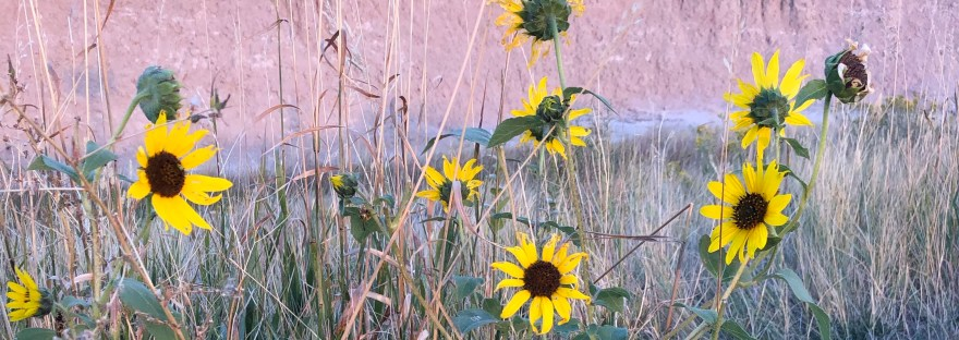 black-eyed Susan-like flowers in dry ground with browned grasses surrounding them, all against a pink stone side of hill in Badlands