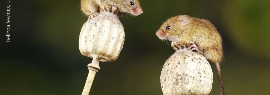 two brown mice, facing each other, perched on top of dried opium seed pods, on dark green background