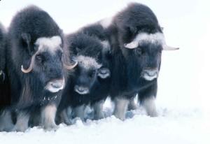 musk-ox-three