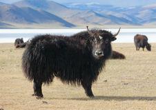 yak-pastures-mongolia-38007423