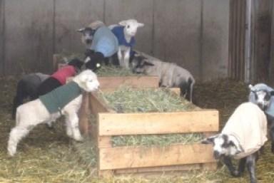 lambs_on_hay_feeders_2010-300x201