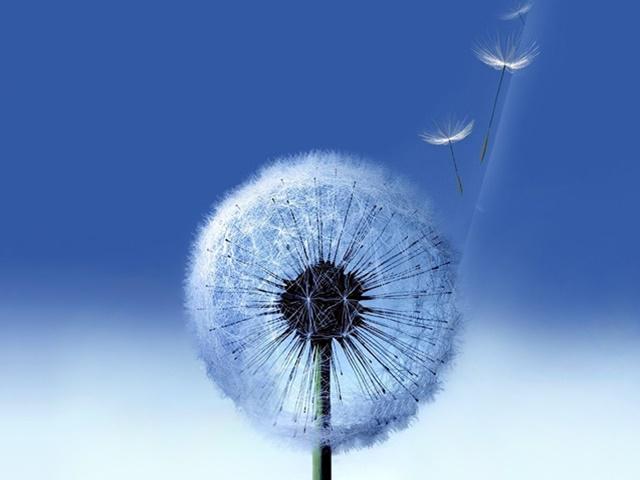 Blue Dandelions #2