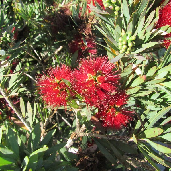 Bottlebrush flower