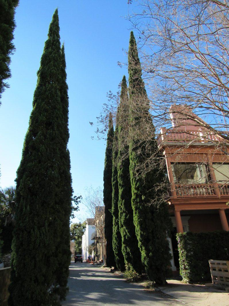 Tall narrow cedar