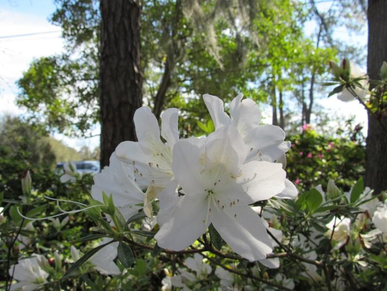 Snow white Azalea
