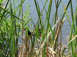 cordgrass