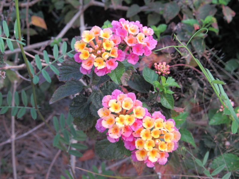 Pink and yellow lantana